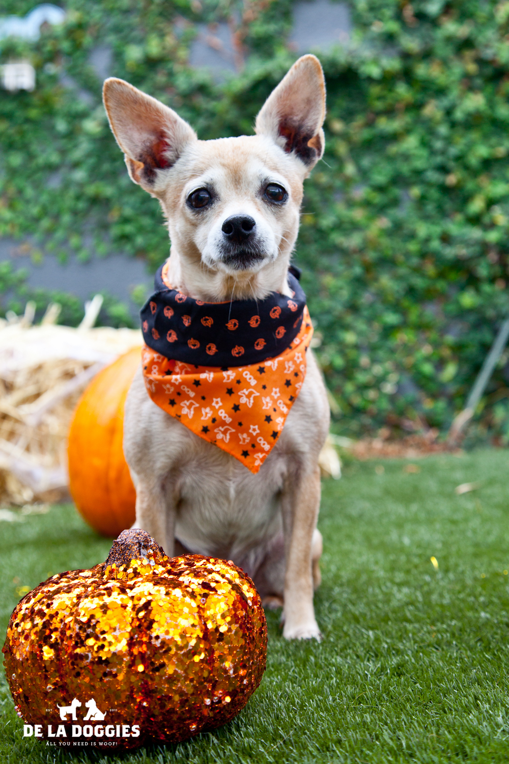 Hi my name is Queen. A1428384 I am a spayed 7 year old, female, tan Chihuahua - Smooth Coated. I have been at the shelter since Oct 01, 2013. Please come meet me!  1850 West 60th street   Los Angeles, CA 90047 L.A. 90018 (213) 485-0214 (213) 485-0227 (213) 485-0303