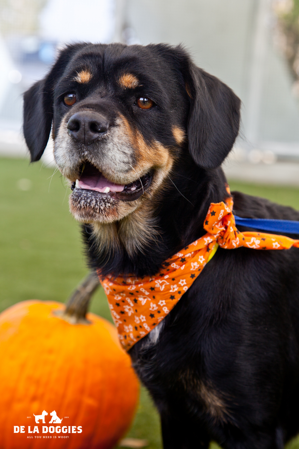 Hi my name is Baby. A1426471  I am a 4 year old, unaltered female, black and brown Cocker Spaniel and Beagle mix. I am SUPER calm and mellow, very patient and i know some commands. I am one special girl. I have been at the shelter since Se  p 23, 2013. Please come meet me!  1850 West 60th street  Los Angeles, CA 90047 L.A. 90018 (213) 485-0214 (213) 485-0227 (213) 485-0303