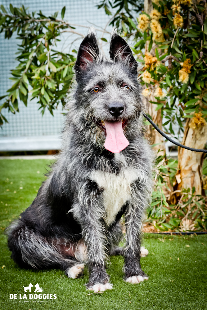 Hi my name is Remus. A1427240   I am a 2 year old, unaltered male, gray and white Terrier mix.I have been at the shelter since Sep 25, 2013. WAY TOO LONG! PLEASE COME GET ME!!    1850 West 60th street   Los Angeles, CA 90047   L.A. 90018   (213) 485-0214