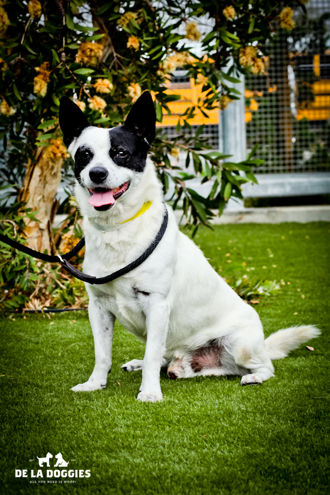 Hi my name is Fido. A1428491   I am a 1 year old, unaltered male, white and black Jack (Parson) Russell Terrier mix. I have been at the shelter since Oct 01, 2013. Please come meet me!    1850 West 60th street   Los Angeles, CA 90047   L.A. 90018   (213) 485-0214