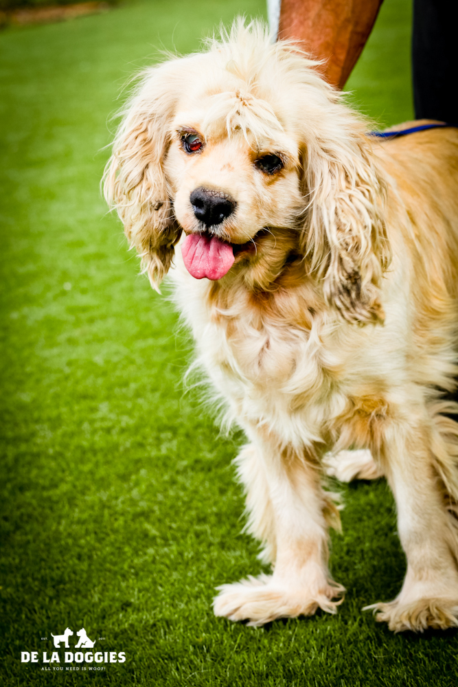 Hi my name is Rachel. A1431023   I am a 10 year old, unaltered female, tan and cream Cocker Spaniel. I am sweet, calm and pretty much perfect. I have been at the shelter since Oct 12, 2013. PLEASE PLEASE come meet me!