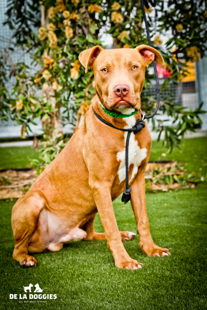Hi I'm Pepper. A1434067   I am a 1 year old, unaltered male, tan and white Pit Bull Terrier. I have been at the shelter since Oct 26, 2013. PLEASE come meet me!!!    1850 West 60th street   Los Angeles, CA 90047   L.A. 90018   (213) 485-0214