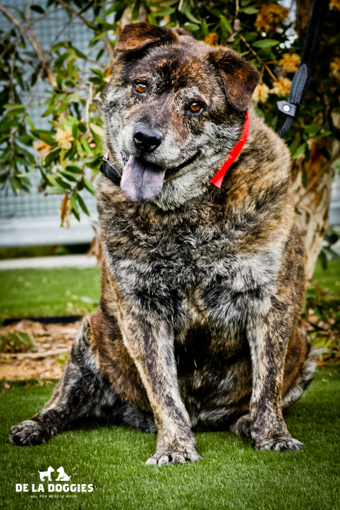Hi my name is Spike. A1436252   I am a 10 year old, neutered male, brown brindle Chow Chow and Pit Bull Terrier.I have been at the shelter since Nov 06, 2013. PLEASE come meet me!!    1850 West 60th street   Los Angeles, CA 90047   L.A. 90018   (213) 485-0214