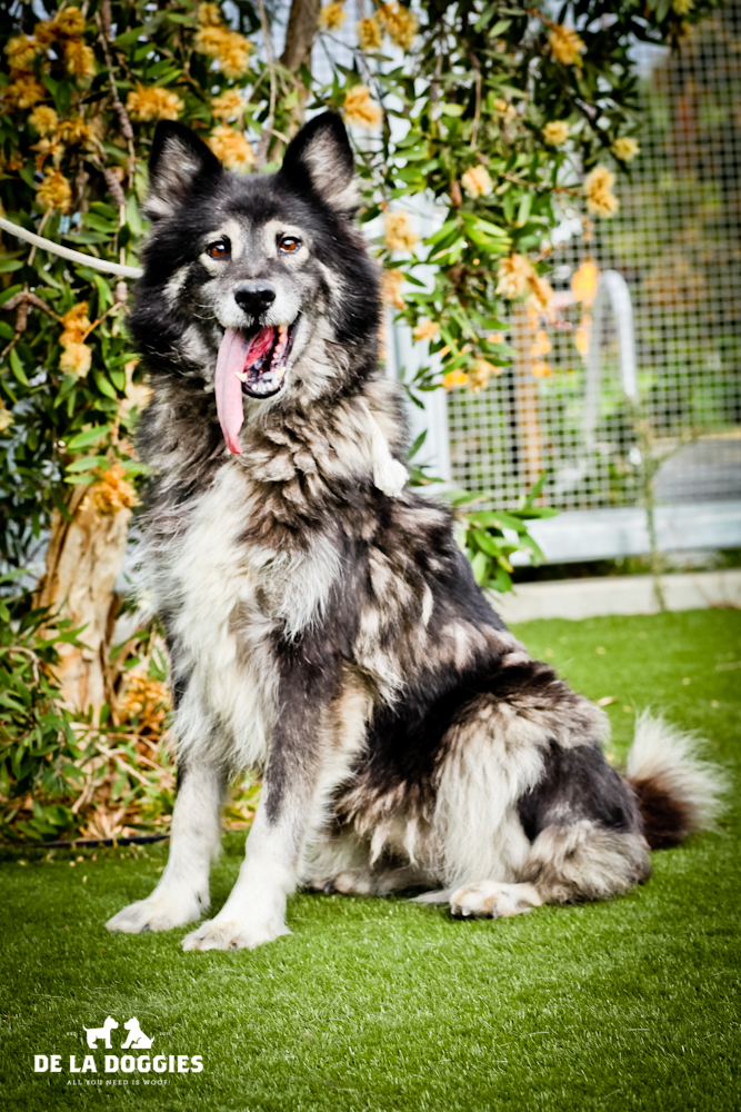 BEAUTIFUL 10 year old SISTERS NEED HOME!!   A1436407 & A143606   Both are 10 year old, unaltered female, black and brown Shetland Sheepdog. They have been at the shelter since Nov 06, 2013. Please go meet them!!    1850 West 60th street   Los Ange  les, CA 90047 L.A. 90018 (213) 485-0214