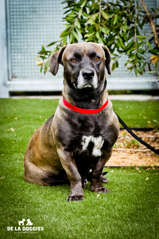Hi my name is Chico. A1436894   I am a 2 year old, unaltered male, chocolate and fawn Basset Hound mix. I have been at the shelter since Nov 09, 2013. PLEASE come meet me!    1850 West 60th street   Los Angeles, CA 90047   L.A. 90018   (213) 485-0214
