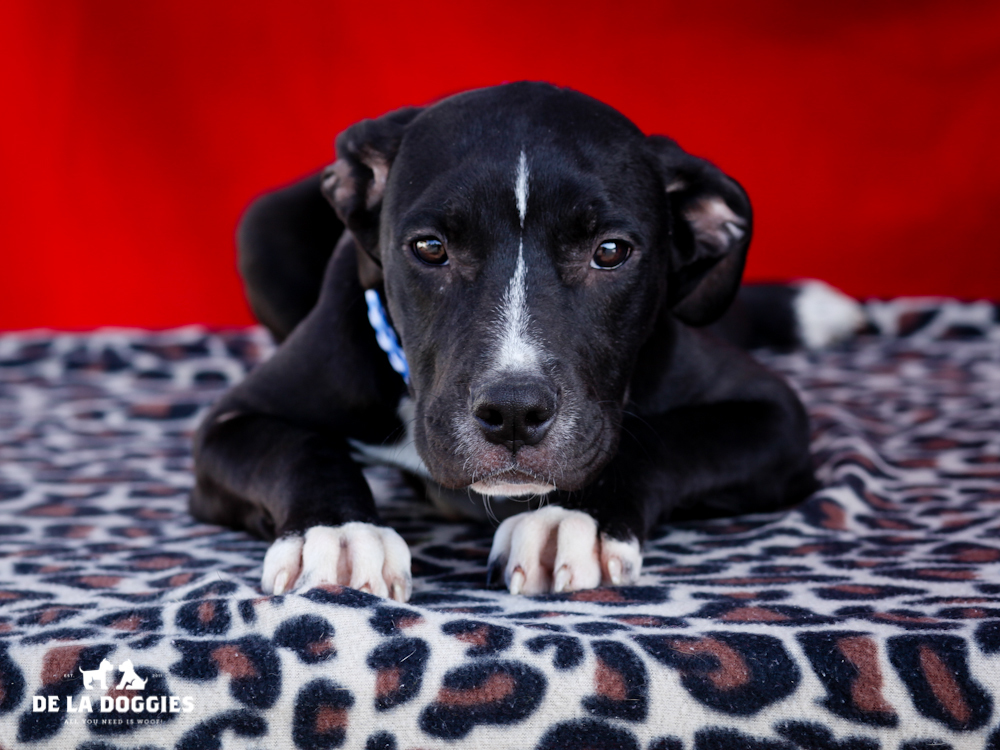 A4646839 Winifred is a loopy five month old black and white female Pit Bull mix puppy who was found in Washington Park on October 27th along with her sisters Morticia (A4646840) and Wednesday (A4646838) and brought to the Downey Shelter. Weighing twenty-two pounds and likely to grow to fifty pounds, this funster thought the leash was a terrific toy and in no time at all got it wrapped around he r entire body. She is joyous, gets along great with EVERYONE and we think she will be a marvelous pet for children. Winifred is synonymous with fun and will make a splendid indoor pet for an active individual or family living in a private home.  To watch a video of Winifred, Morticia & Wednesday) please click here:  www.youtube.com/watch?v=wd5N5CmDV3U