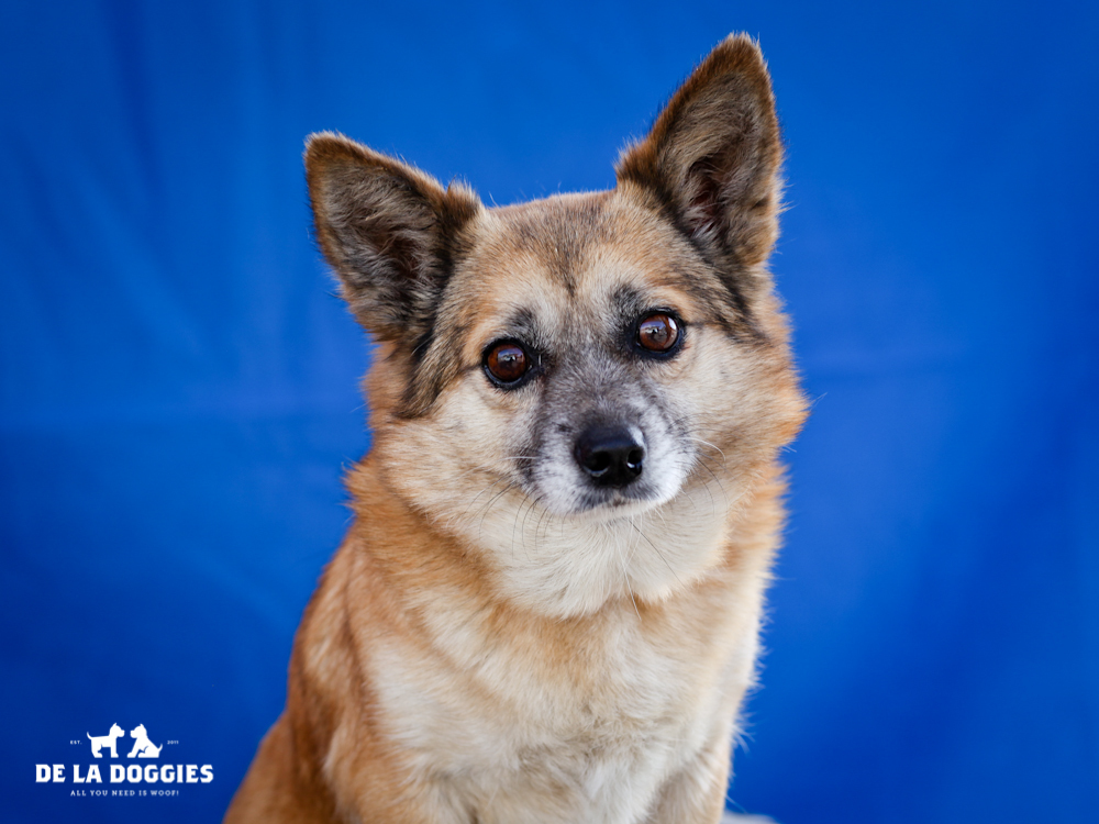 A4650164 Cindy Sue is a peaceful five year old tan spayed female Welsh Corgi mix who was found in Compton on November 5th and brought to the Downey Shelter. Weighing eighteen pounds, this calm dog walks nicely on leash, knows how to 'sit' and 'down' on command and we believe she may be housebroken. She is self-assured, gets along fine with dogs of all sizes and we think she will be a terrific playmate for children. Cindy Sue is just plain NICE and she'll make an exceptional indoor pet for anyone in any living situation.  To watch a video of Cindy Sue please click here: www.youtube.com/watch?v=9sNjUcS2jDQ