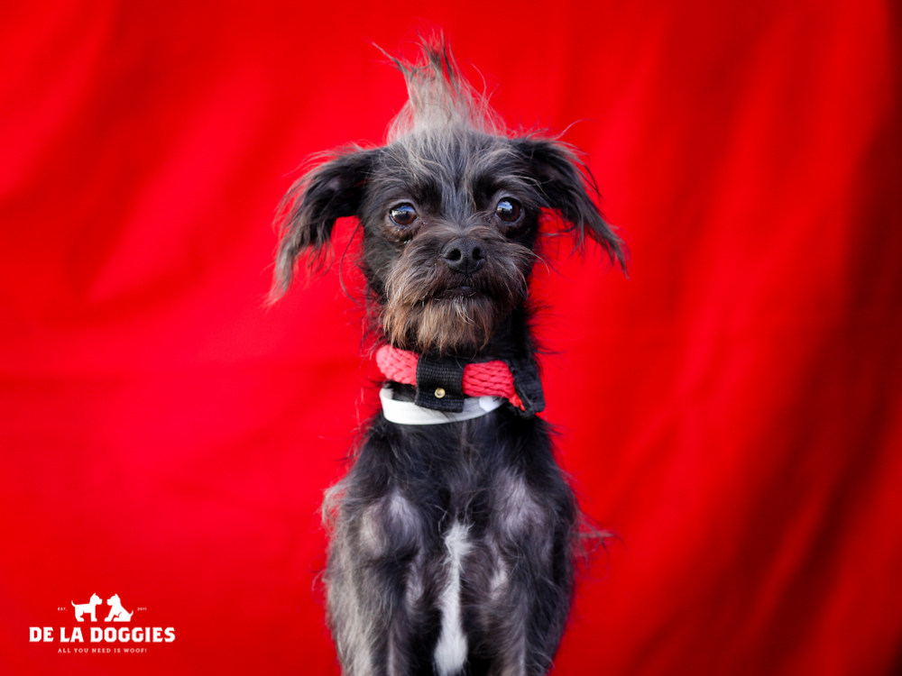 A4651070 Archie is a long-legged one year old black neutered male Shih Tzu/Terrier mix puppy who was found in Compton on November 8th and brought to the Downey Shelter. Weighing ten pounds, Archie prances along well on leash but will benefit from additional training. He is cooperative, gets along great with other dogs and we believe he will be an excellent pet for children. Archie is an absolute sweetheart who is a spectacular indoor pet for anyone in any living situation.    To watch a video of Archie please click here:  www.youtube.com/watch?v=bg-UtFSGbww