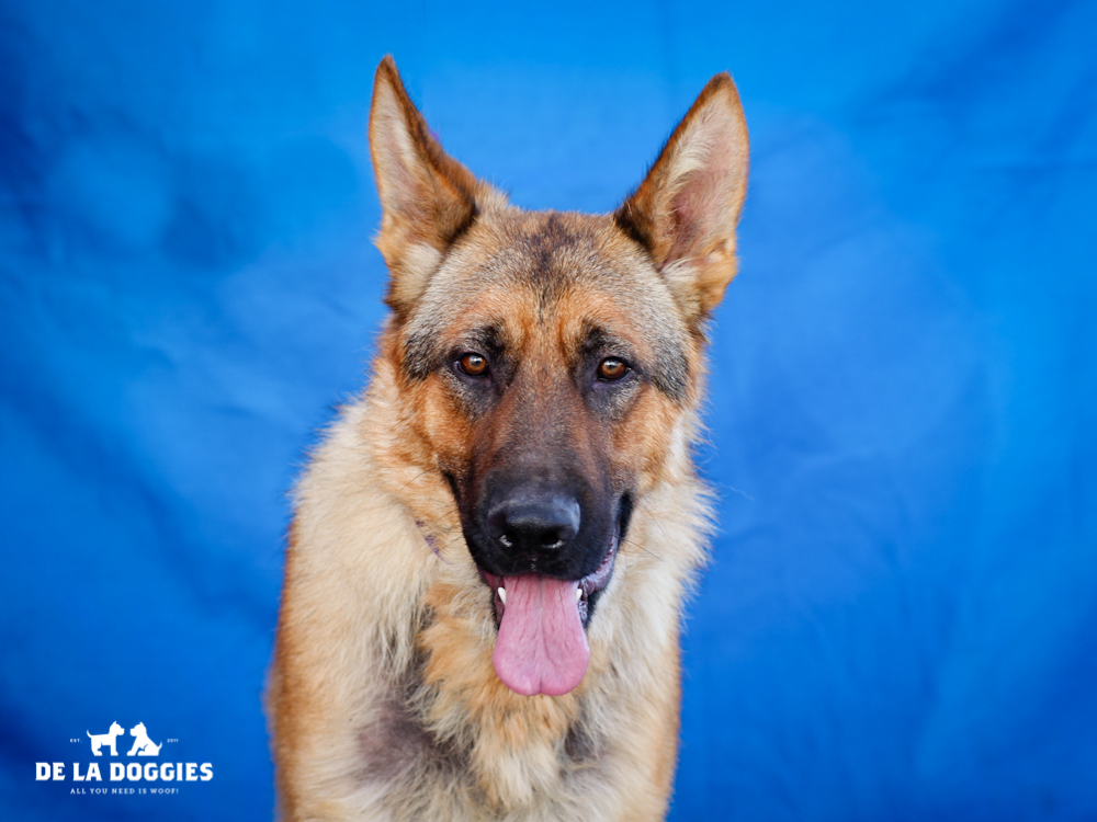 A4650799 Norton is a super handsome three year old fawn and black male purebred German Shepherd who was found in Compton on November 7th and brought to the Downey Shelter. Weighing eighty-eight pounds, this intelligent dog walks well on leash, knows how to 'sit' and 'come' on command and we believe he may be housebroken. He is trusting, prefers a slow introduction to other dogs and we think he would do best with older children. Norton is an awesome indoor pet for an active individual or family living in a private home.    To watch a video of Norton please click here:  www.youtube.com/watch?v=fWDMmWSYRtY