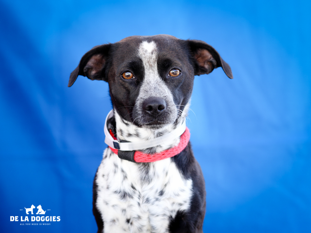 A4651670 Hot Rod is a handsome four year old white and black male mini-Pointer mix who was found in Compton on November 11th and brought to the Downey Shelter. Weighing eighteen pounds, this dapper dog walks very well on leash and we believe he may be housebroken. He is patient, gets along nicely with other dogs and we think he would be a natural for children. Hot Rod is a pure joy to be around and will make an ideal indoor pet for anyone in any living situation.    To watch a video of Hot Rod please click here:  www.youtube.com/watch?v=zWF0BGv2fHs