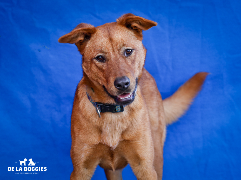 A4652223 Shana is a blissful two year old brown female German Shepherd mix who was found in Monterey Park on November 12th and brought to the Downey Shelter. Weighing fifty-one pounds, this sparkler walks nicely on leash and we believe she may be housetrained. She is attentive, gets along fine with other dogs and we think she will make a great pet for children. Shana is a fabulously happy dog and will make a joyous indoor pet for an active individual or family living in a private home.    To watch a video of Shana please click here:  www.youtube.com/watch?v=YtAn73Walkc