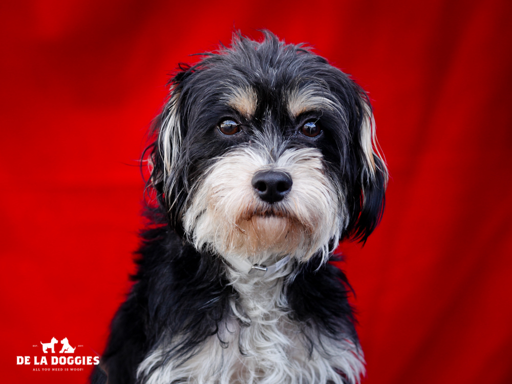 A4652576 Kirby is a lovable one year old black and tan male Miniature Schnauzer mix puppy who was found in Huntington Park on November 13th and brought to the Downey Shelter. Weighing ten pounds, this cutie walks amazing well on leash and will think he may be housebroken. He is good-natured, loves to play with other dogs and we believe he is a natural for children. Kirby is an affectionate puppy who will make a delightful indoor pet for anyone in any living situation.  To watch a video of Kirby please click here: www.youtube.com/watch?v=FroVvmdkXs0