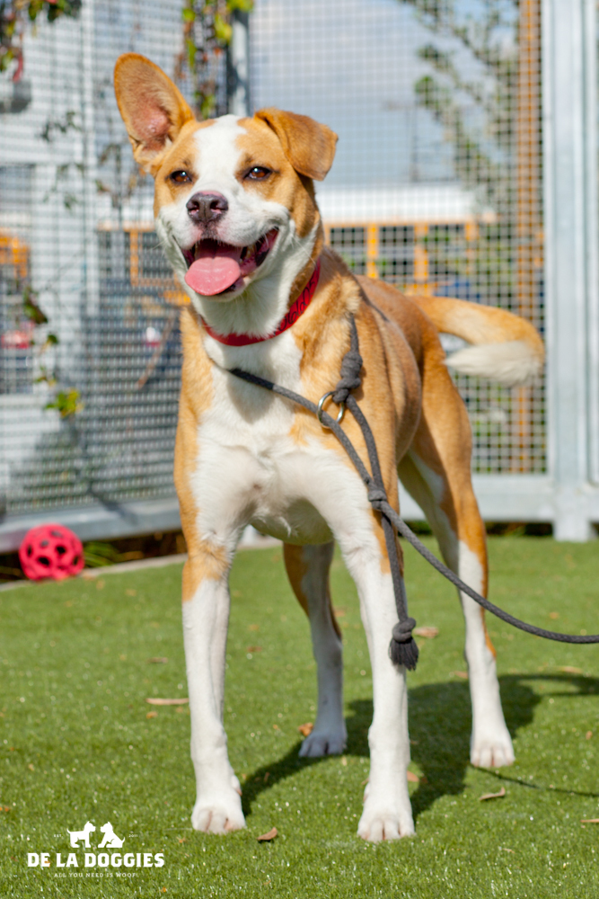My name is Ace. A1066057   I am a 4 year old, neutered male, brown and white American Staffordshire Terrier. I have been at the shelter since Dec 01, 2013. PLEASE come meet me!    1850 West 60th street   Los Angeles, CA 90047   L.A. 90018 (213) 485-0214