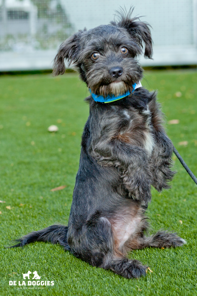 Hi my name is Max. A1439986   I am a 6 month old, 10lb, unaltered male, gray and white Schnauzer - Miniature mix. I have been at the shelter since Nov 26, 2013. Please come meet me!    1850 West 60th street   Los Angeles, CA 90047   L.A. 90018 (213) 485-0214