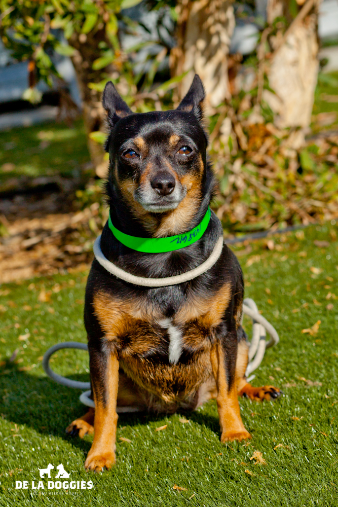 Hi my name is Serena. A1438612   I am a 5 year old, ALREADY spayed female, black and tan Chihuahua. I have been at the shelter since Nov 19, 2013. Please come meet me!     1850 West 60th street   Los Angeles, CA 90047 L.A. 90018 (213) 485-0214