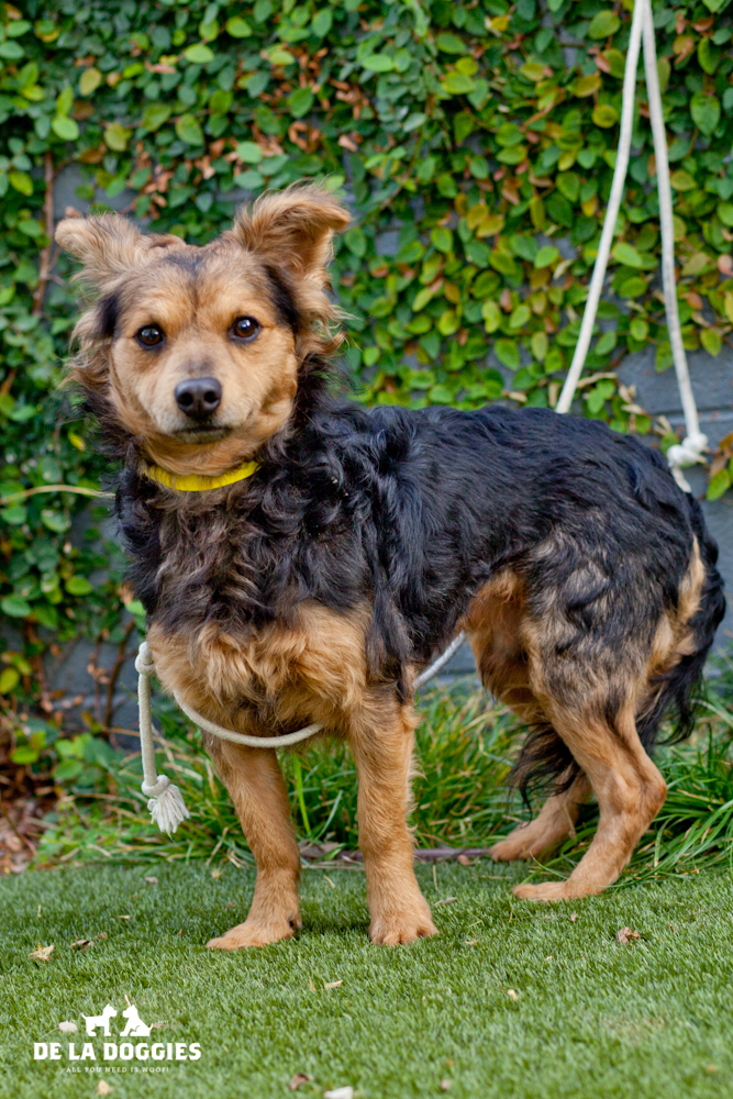 Hi my name is Suko. A1434816   I am a 2.5 year old, unaltered male, black and gold Papillon.   I have been at the shelter since Oct 30, 2013. PLEASE come meet me!    1850 West 60th street   Los Angeles, CA 90047 L.A. 90018 (213) 485-0214