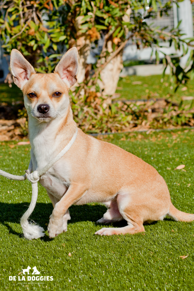 Hi my name is Miles. A1432133. I've been at the shelter since OCTOBER 17!!! Way too long!   I am a 2 year old, ALREADY neutered male, tan and white Chihuahua - Smooth Coated. Please come meet me!    1850 West 60th street   Los Angeles, CA 90047   L.A. 90018 (213) 485-0214
