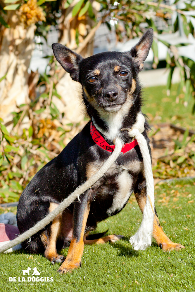 Hi my name is Sammy. A1422135   I am a 2 year old, neutered male, tricolor smooth coated Chihuahua. I have been at the shelter since Sep 05, 2013. Please come meet me!    1850 West 60th street   Los Angeles, CA 90047   L.A. 90018 (213) 485-0214