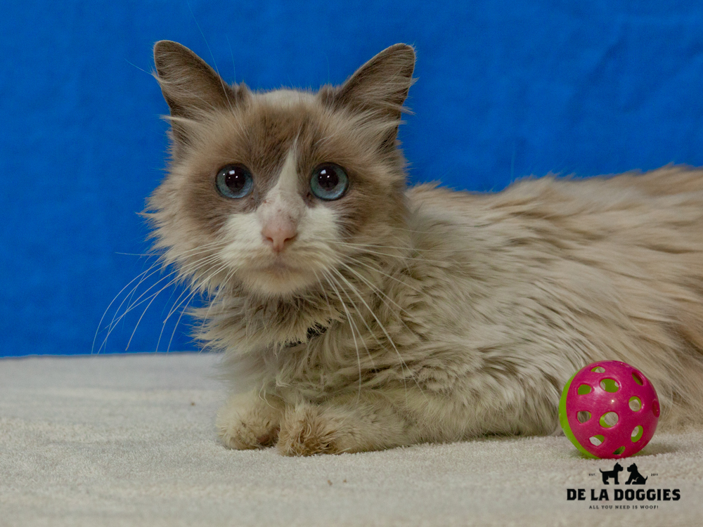 A4654791 Muffin is a five year old seal point spayed female Domestic Longhaired cat who was found in East Los Angeles on November 20th and brought to the Downey Shelter. Muffin weighs seven pounds. Muffin is a friendly and affectionate kitty.
