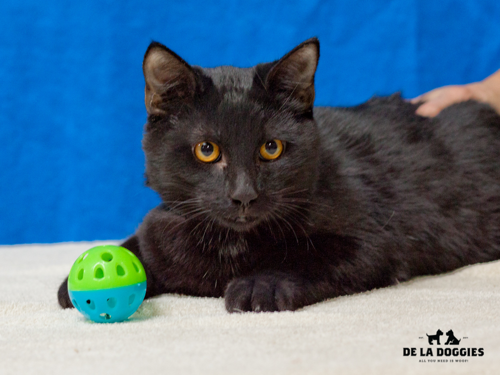 A4653779 Tom Jefferson is a very friendly eleven month old black neutered male Domestic Shorthaired kitten who was found in Lynwood on November 17th and brought to the Downey Shelter. Tom Jefferson weighs six pounds. His brother Ben Franklin was adopted a few days ago.