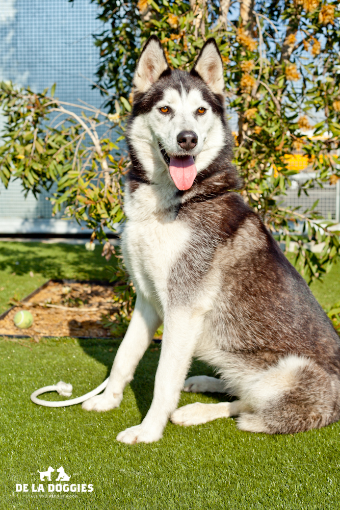 Hi my name is Mona. A1441344   I am a 2 year old, spayed female, black and white Alaskan Malamute. I have been at the shelter since Dec 05, 2013. Please come meet me!    1850 West 60th street   Los Angeles, CA 90047   L.A. 90018 (213) 485-0214