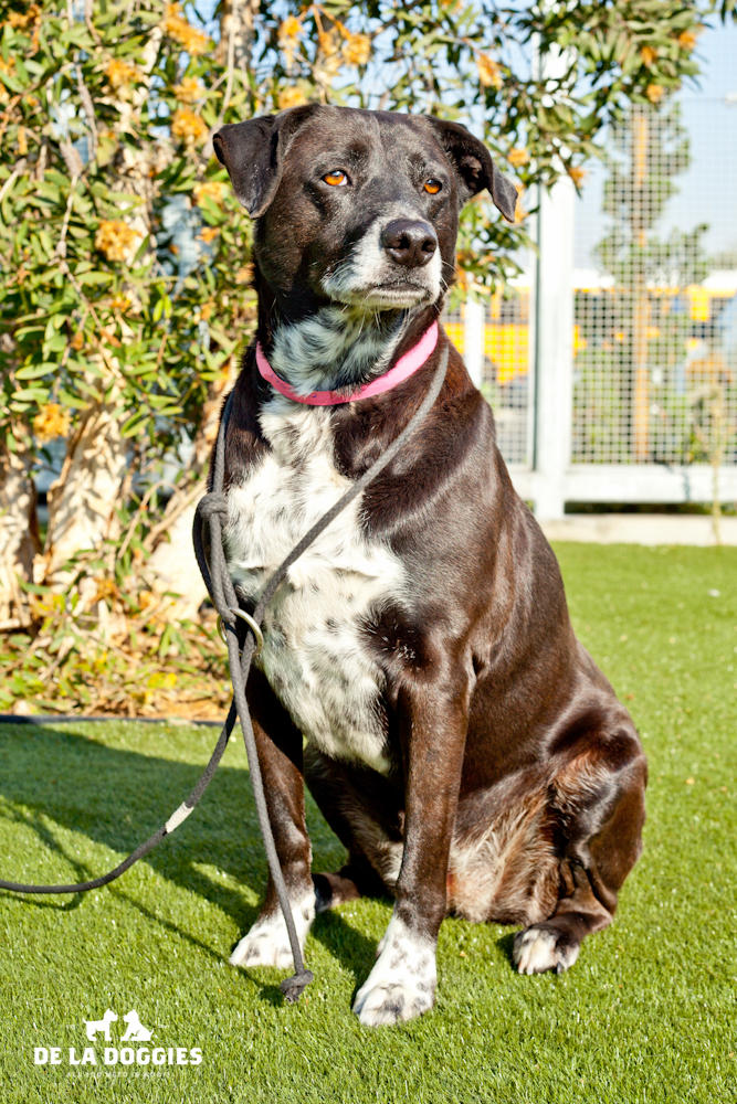 Hi my name is Shadow. A0944521   I am a 5 year old, spayed female, black and white Labrador Retriever mix. I have been at the shelter since Dec 04, 2013. Please come meet me!    1850 West 60th street   Los Angeles, CA 90047   L.A. 90018 (213) 485-0214