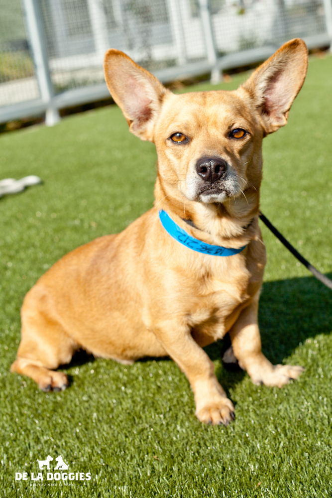 Hi my name is Suave. A1438212   I am a 3 year old, neutered male, brown smooth coated Corgi/Chihuahua mix. I have been at the shelter since Nov 16, 2013. Please come meet me!    1850 West 60th street   Los Angeles, CA 90047   L.A. 90018 (213) 485-0214