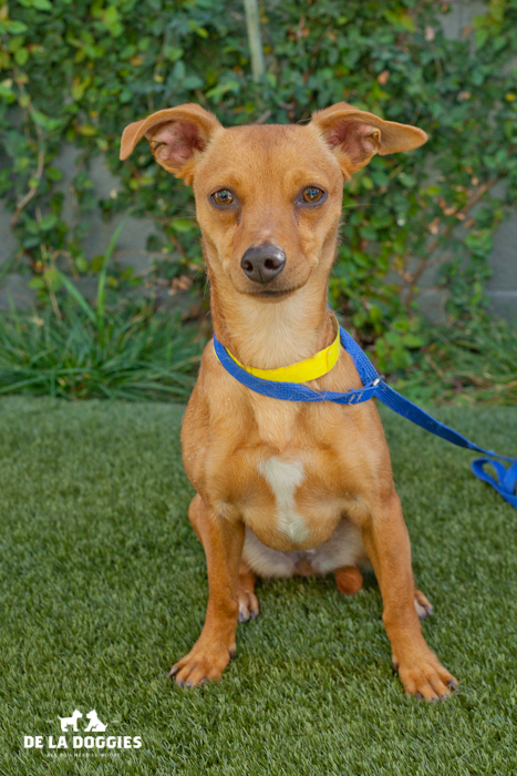 Hello! My name is Daisy A1440772. I am a young, female chihuahua mix. I came into the shelter as an owner surrender on December 2nd. I love to give kisses and to explore. Please come visit me!     South LA Shelter   1850 West 60th street   Los Angeles, CA 90047   L.A. 90018   (213) 485-0214