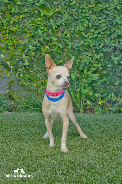 Hola! My Name is Pipa A1445425 I am a five pound, six year old chihuahua that came into the shelter as a stray on December 31st, 2013. I am pretty shy at first but warm up to people who like to give me treats and have me hang out on their lap. Please come visit me!     South LA Shelter    1850 West 60th street   Los Angeles, CA 90047   L.A. 90018   (213) 485-0214