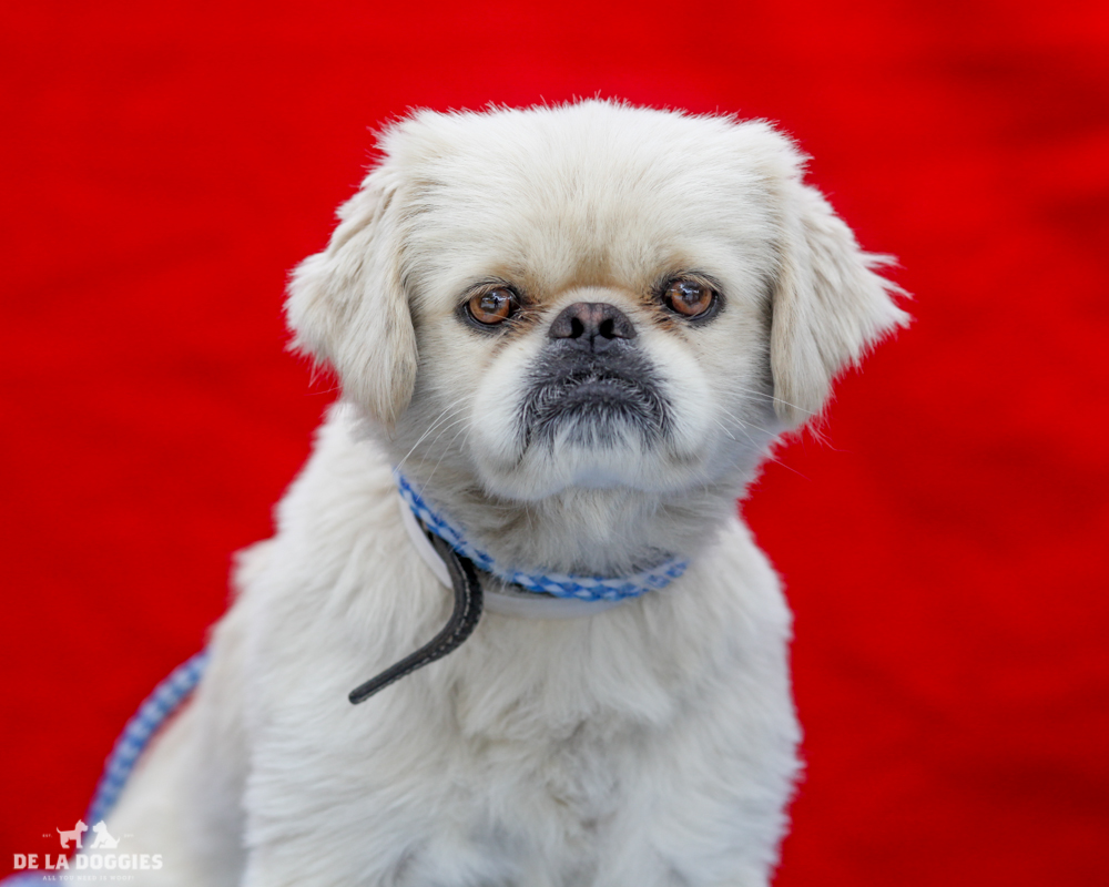 A4716843 Harold is a charming two year old white male Pekingese who was found in East Los Angeles on June 2nd and brought to the Downey Shelter. Weighing fifteen pounds, he decided he didn't want to walk today so his handler picked him up and cuddled him which was just fine with Harold. We believe he may be housebroken. He is placid, gets along fine with other dogs and we think he will make a remarkable pet for children. Harold is a gentle, excellent indoor pet for anyone in any living situation.   To watch a video of Harold please click here:  www.youtube.com/watch?v=Tw13nJ6ptXA