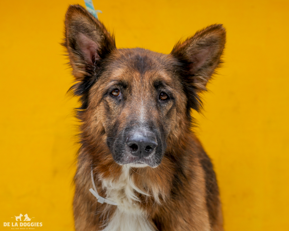 A4716294 Tequila is a phenomenal five year old brown and black neutered male Plush Coat German Shepherd/Collie who was abandoned at the Downey Shelter on June 1st along with his brother Nitron (A4716295). Weighing sixty-two pounds, this fabulous dog walks well on leash and we believe he is housetrained. He gets along fine with other dogs of all sizes and we predict he will make a fabulous pet for children. He is well-behaved and sociable with an eager-to-please disposition. Tequila is a terrific exercise companion and indoor pet for an individual or family living in a private home.   To watch a video of Tequila please click here:  www.youtube.com/watch?v=Z2upMlRBc4Q