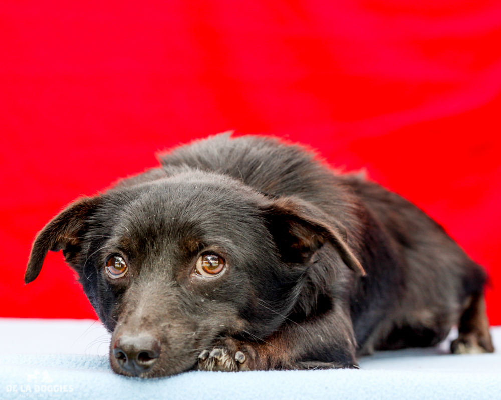 A4718143 Manny is a shy one year old black male Terrier/Spaniel puppy who was found in East Los Angeles on June 5th with his companions Moe (A4718144) and Jack (A4718148) and brought to the Downey Shelter. Weighing ten pounds, Manny is overwhelmed at the shelter and we think that once he is out of here and in a home he will relax and surprise you with his many talents. He is quiet and very bonded to Jack, and we think he will do best in an adult home. Manny is our diamond in the rough and with some kindness and affection will blossom into a wonderful and loving pet for an individual or adult family.   To watch a video of Manny and Jack please click here:  www.youtube.com/watch?v=Z4ssCXMxrmI