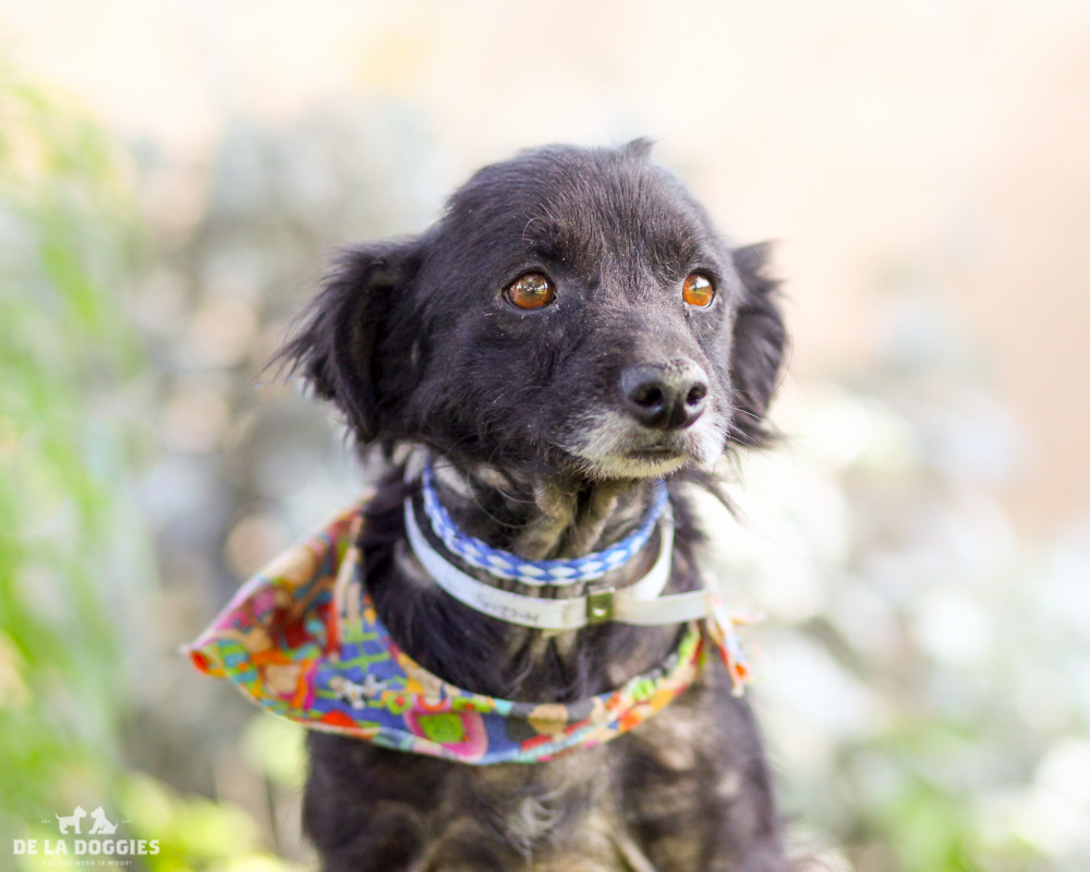 """A3786452 Rocky is a gentle six year old black neutered Long Haired Chihuahua who was dumped at the Downey Shelter on May 23rd. Weighing twelve pounds, this loving dog walks nicely on leash, knows how to 'sit' on command and we think he is housebroken. He is polite, gets along well with other dogs and we think he will make an excellent pet for children. He is pretty low key and if """"lap dog"""" is a profession he is an expert at it. Rocky is an exceptional indoor pet for anyone in any living situation and would be an ideal companion for a senior citizen.   To watch a video of Rocky please click here:  www.youtube.com/watch?v=hmrQK17AJD8"""