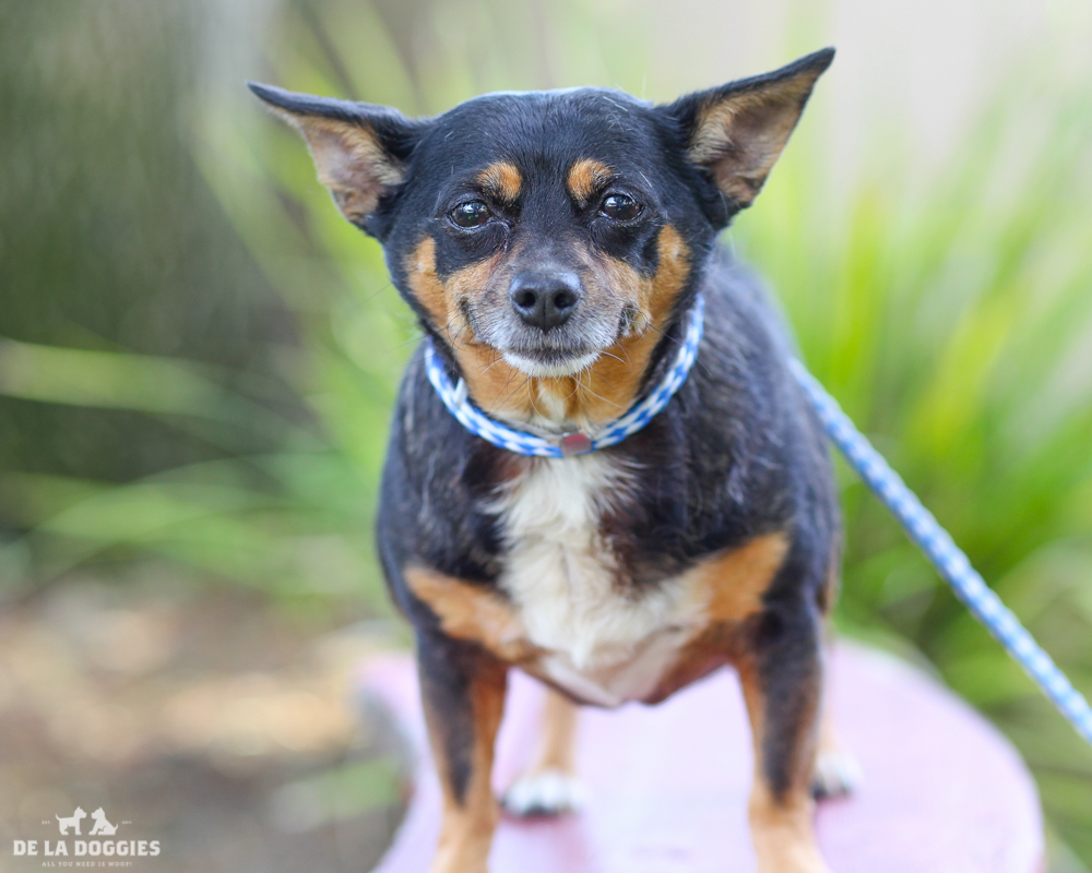 A4718542 Sylvie is a very agreeable six year old black and brown spayed female Chihuahua who was found in Lynwood on June 7th and brought to the Downey Shelter. Weighing thirteen pounds, this full-figured gal walks well on leash, knows how to 'sit' on command and we think she is housebroken. She is mellow, gets along fine with other dogs and we believe she will do nicely with children. Sylvie is a gentle soul who is an outstanding indoor pet for anyone in any living situation.   To watch a video of Sylvie please click here:  www.youtube.com/watch?v=9Xy_bKdjdxA