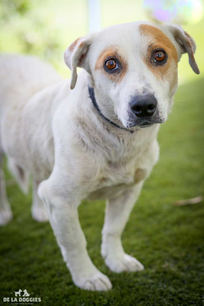 My name is Charlie!   A1500191   I am a 6 year old, spayed female, white and brown Basset Hound mix. I have been at the shelter since Aug 11, 2014.   PLEASE come meet me!    1850 West 60th street   Los Angeles, CA 90047 L.A. 90018 (213) 485-0214