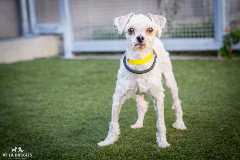 Hi my name is Buddy.    A1511501   I am a 1 year old, unaltered male, white Miniature Poodle.    I have been at the shelter since Sep 29, 2014.   Please come meet me!    1850 West 60th street Los Angeles, CA 90047 L.A. 90018 (213) 485-0214