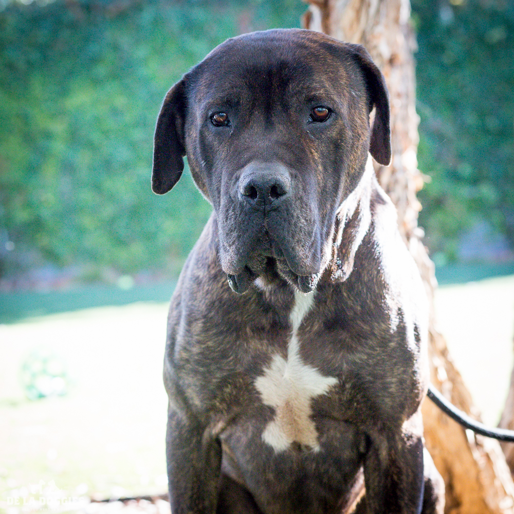Hi my name is Zeno!   A1509572   I am a 6 year old, unaltered male, brown brindle and white Mastiff.   I have been at the shelter since Sep 21, 2014. Please come meet me!    1850 West 60th street   Los Angeles, CA 90047 L.A. 90018 (213) 485-0214