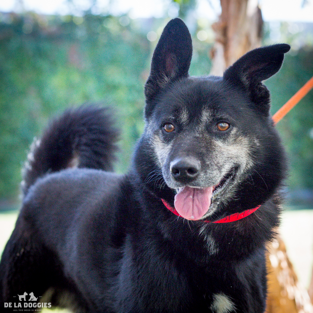 Hi my name is Picasso!   A1517720   I am a 5 year old, unaltered male, white and tan German Shepherd Dog and Keeshond. I have been at the shelter since Oct 27, 2014. Please come meet me!    1850 West 60th street   Los Angeles, CA 90047   L.A. 90018 (213) 485-0214