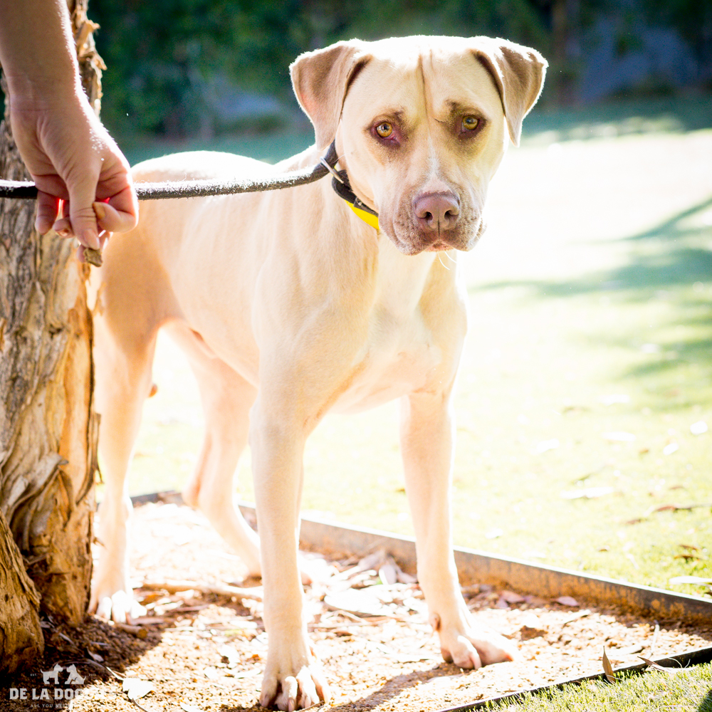 My name is Hansom!   A1511995   I am a 3 year old, already neutered male, tan and white American Staffordshire Terrier. I have been at the shelter since Oct 01, 2014. Please come meet me! I've been here way too long    1850 West 60th street   Los  Angeles, CA 90047 L.A. 90018 (213) 485-0214