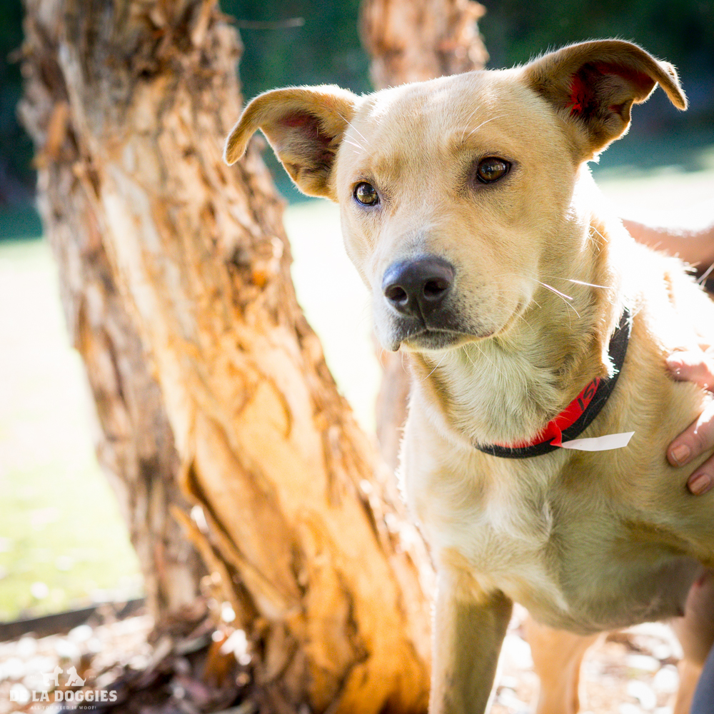 Hi my name is Holiday!   A1516648   I am a 3 year old, already spayed female, tan Labrador Retriever mix.   I have been at the shelter since Oct 22, 2014. Please come meet me!    1850 West 60th street   Los Angeles, CA 90047 L.A. 90018 (213) 485-0214