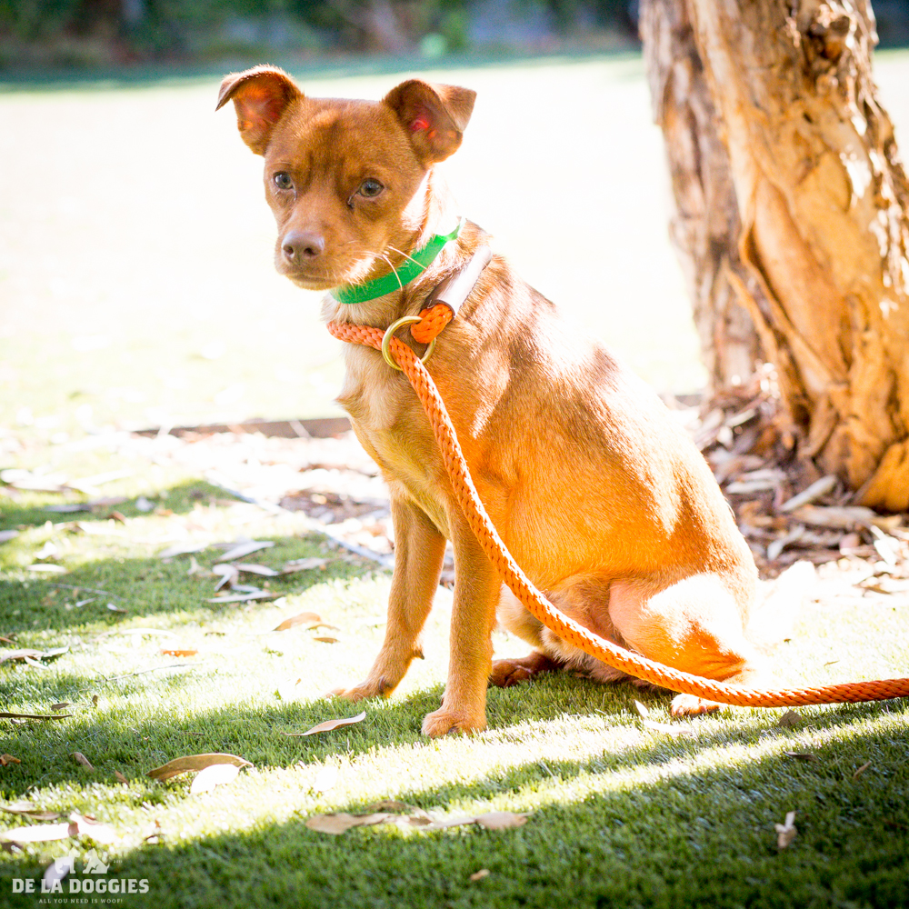 My name is Kyro!   A1505092   I am a 1 year old, ALREADY neutered male, brown Chihuahua - Smooth Coated. I have been at the shelter since Oct 21, 2014. PLEASE COME MEET ME!    1850 West 60th street   Los Angeles, CA 90047   L.A. 90018 (213) 485-0214