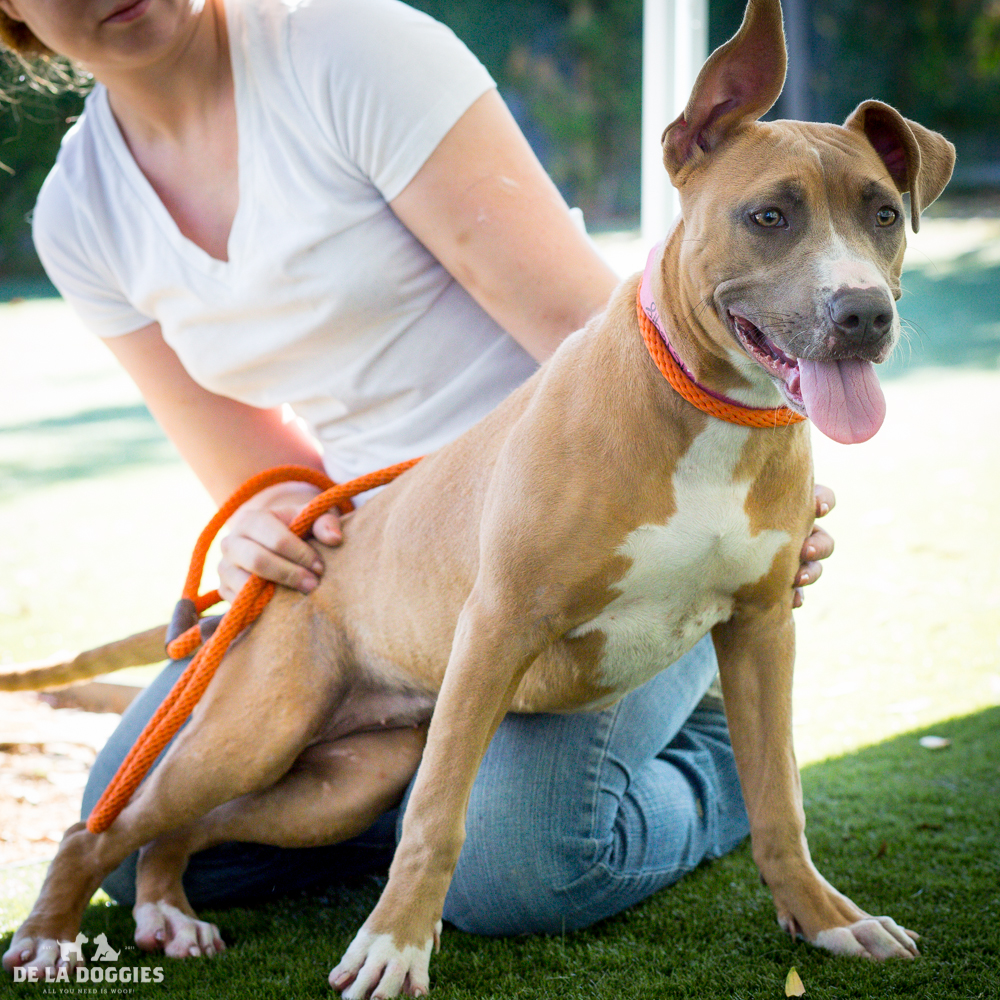 My name is Sandy!   A1516918   I am an 8 month old, 43lb unaltered female, fawn and white Pit Bull Terrier mix.I have been at the shelter since Oct 23, 2014. PLEASE come meet me!    1850 West 60th street   Los Angeles, CA 90047   L.A. 90018 (213) 485-0214