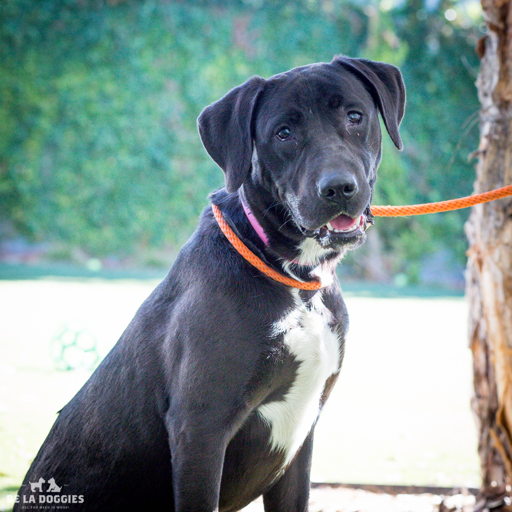 Hi my name is Eddie!   A1517519   I am a 1 year old, unaltered male, black and white Labrador Retriever and Pit Bull Terrier. I have been at the shelter since Oct 26, 2014. PLEASE come meet me!    1850 West 60th street   Los Angeles, CA 90047   L.A. 90018 (213) 485-0214