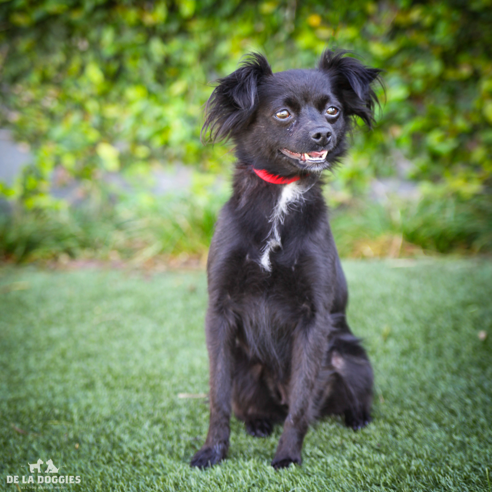 My name is Jenna!   A1532626   I am a 1 year old spayed female, black Papillon mix.   I have been at the shelter since Jan 27, 2015.    1850 West 60th street Los Angeles, CA 90047 L.A. 90018 (213) 485-0214 (213) 485-0227 (213) 485-0303