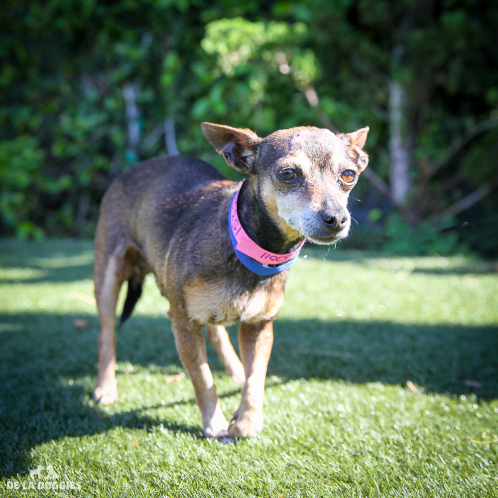 My name is Pico A1532011 and I am six year old female, chihuahua with a lil head trauma and I am currently in medical.    Come hang with me!   1850 West 60th street Los Angeles, CA 90047 L.A. 90018 (213) 485-0214 (213) 485-0227 (213) 485-0303