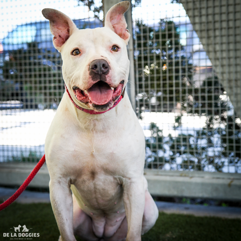 My name is Betty A1378990, and I am a one year oldpit/staffiemix with lots of great energy and I love people and to give snuggles!     1850 West 60th street Los Angeles, CA 90047 L.A. 90018 (213) 485-0214 (213) 485-0227 (213) 485-0303