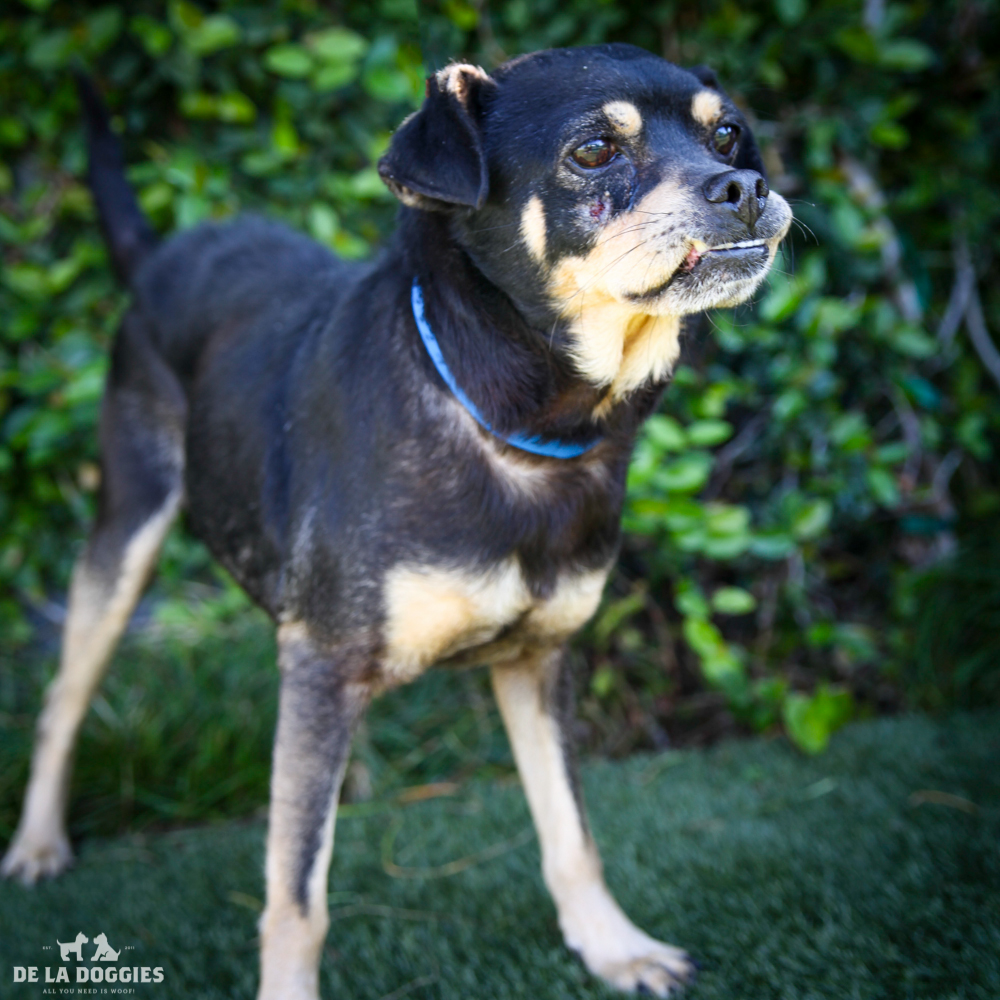 My name is Leslie A158332, and I am a mid age male,beagle/chihuahua mix. I came in as a stray and I'm kind of shy but enjoy other mammals :)     1850 West 60th street Los Angeles, CA 90047 L.A. 90018 (213) 485-0214 (213) 485-0227 (213) 485-0303