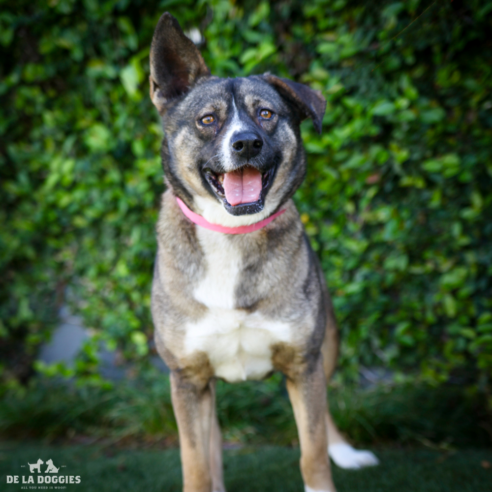 My name is Becky A1532206, and I am a eightyear old female akita, who came into the shelter as a stray. Save me!     1850 West 60th street Los Angeles, CA 90047 L.A. 90018 (213) 485-0214 (213) 485-0227 (213) 485-0303