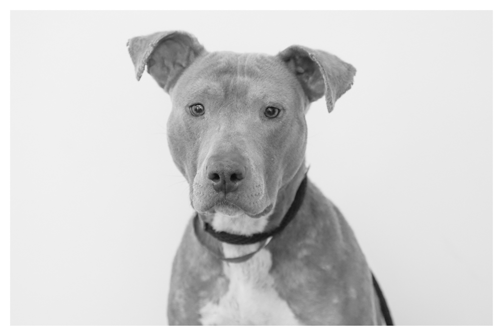 Remy A1424039 This baby gurl is a volunteer favorite who has been at the shelter since NOVEMBER! She is currently in medical..Remy is about 4 years old and was an owner surrender. She loves going for walks during dog walking class, listens well and wants to please the humans for treats! Please come visit Remy and consider adopting her!