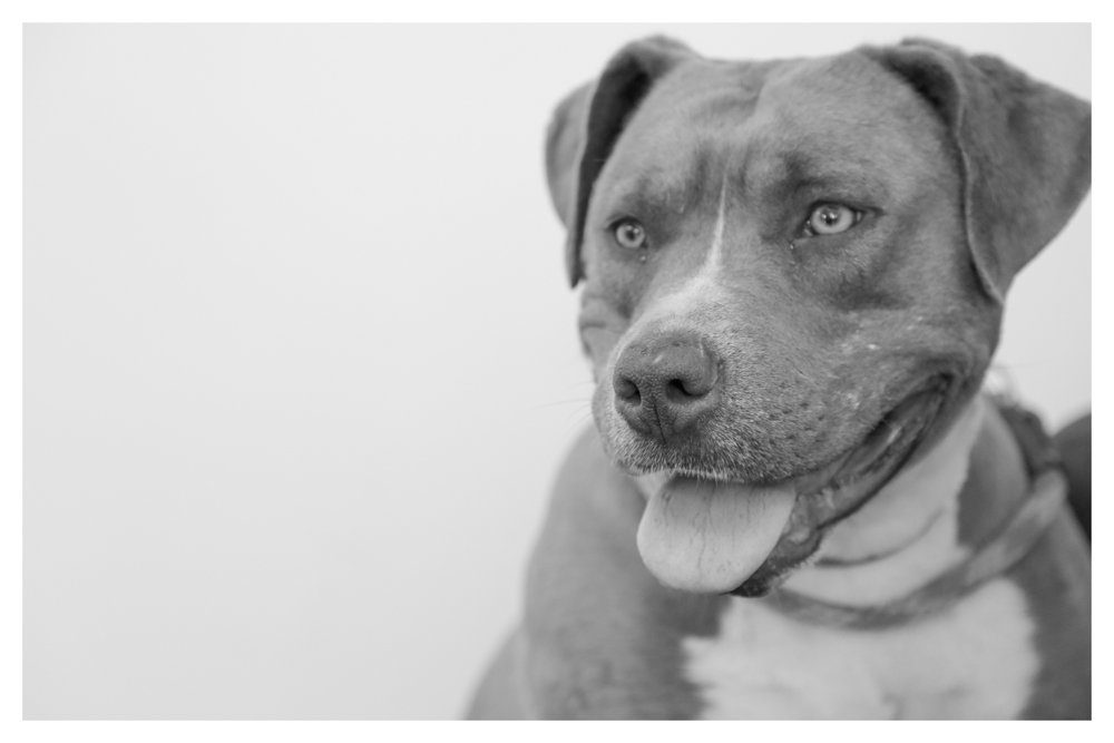 Marci A1699708 In medical! Female 3 year old was a stray and weighs 60 pounds. Marci LOVES people! She currently has some skin issues and has some old fighting wounds :(but that doesnt stop her from wanting to kiss you and want belly rubbins! Come meet Marci!!!